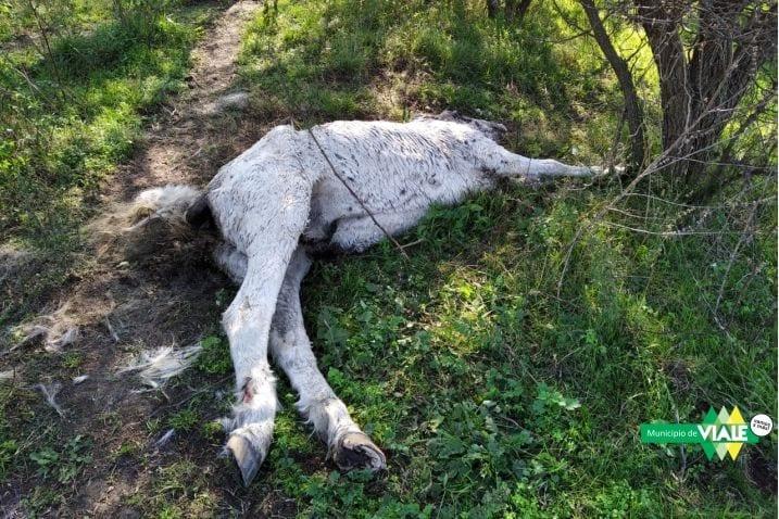 Intervención por un caballo en estado de putrefacción